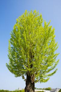 姫路城内の大木の銀杏の写真素材 [FYI04774033]