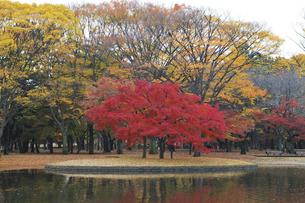 代々木公園の紅葉の写真素材 [FYI04774037]