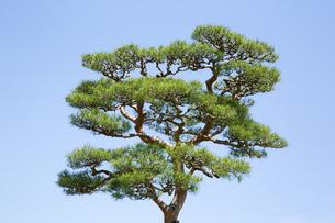 奈良公園の赤松の写真素材 [FYI04774057]