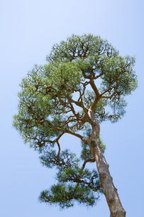 奈良公園の赤松の写真素材 [FYI04774058]