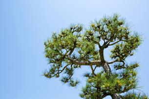 奈良公園の松の写真素材 [FYI04774059]