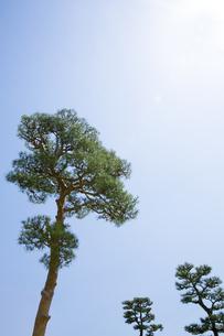 奈良公園の松の写真素材 [FYI04774060]