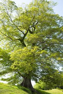 新緑のムクノキの写真素材 [FYI04774121]