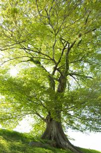 新緑のムクノキの写真素材 [FYI04774124]