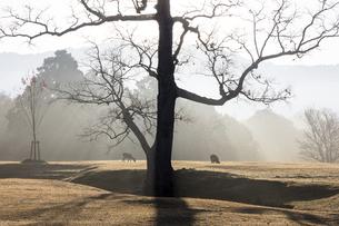 朝の飛火野と鹿の写真素材 [FYI04774230]