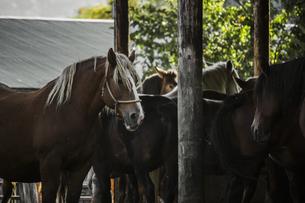 馬が佇む朝の牧場の厩舎の風景の写真素材 [FYI04774262]