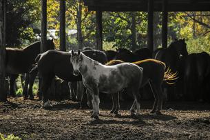 馬が佇む朝の牧場の厩舎の風景の写真素材 [FYI04774265]