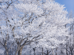 霧氷と青空の写真素材 [FYI04774295]
