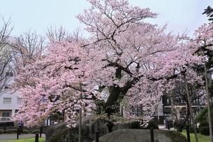 石割桜の写真素材 [FYI04774390]