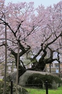 石割桜の写真素材 [FYI04774391]