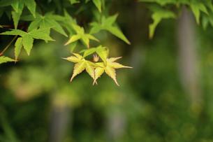 楓の若葉の写真素材 [FYI04775065]