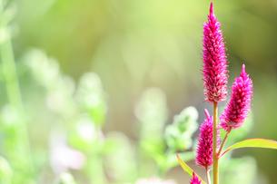 ケイトウの花の写真素材 [FYI04775192]