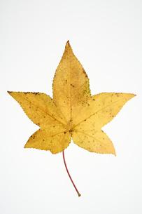 モミジバフウの葉の写真素材 [FYI04775319]