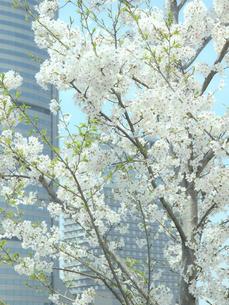 桜とビルの写真素材 [FYI04775487]