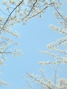 桜と空の写真素材 [FYI04775489]