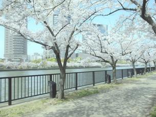 桜と遊歩道の写真素材 [FYI04775491]