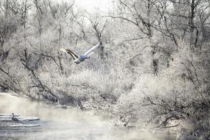 北海道 阿寒郡鶴居村の樹氷とタンチョウ鶴の写真素材 [FYI04775738]