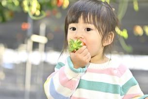 イチゴを食べる女の子の写真素材 [FYI04775806]