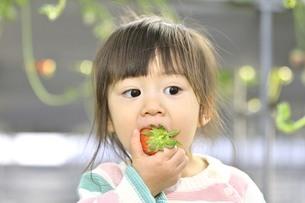 イチゴを食べる女の子の写真素材 [FYI04775807]