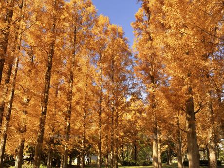 東京都 水元公園のメタセコイアの黄葉の写真素材 [FYI04776020]