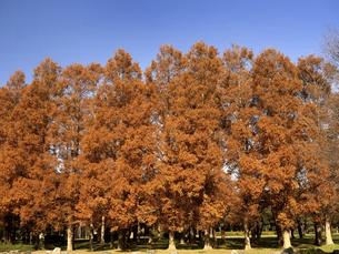 東京都 水元公園のメタセコイアの黄葉の写真素材 [FYI04776021]