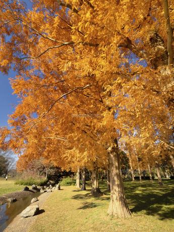 東京都 水元公園のメタセコイアの黄葉の写真素材 [FYI04776023]