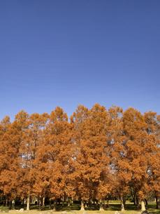 東京都 水元公園のメタセコイアの黄葉の写真素材 [FYI04776027]