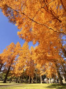 東京都 水元公園のメタセコイアの黄葉の写真素材 [FYI04776033]