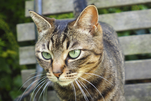 キジトラ猫の写真素材 [FYI04776080]