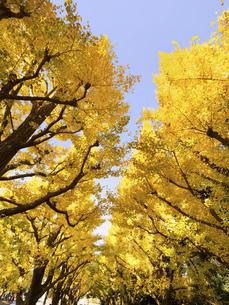 東京都 紅葉した神宮外苑のイチョウ並木の写真素材 [FYI04776142]
