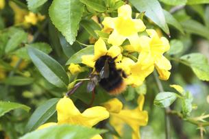 キャロライナジャスミンとミツバチの写真素材 [FYI04776246]