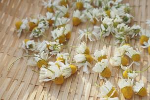 ドライハーブづくり用のカモミールの花の写真素材 [FYI04776249]