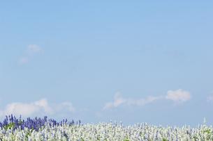 花畑と青空の写真素材 [FYI04776330]