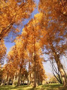 東京都 水元公園のメタセコイアの黄葉の写真素材 [FYI04776373]