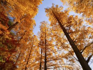 東京都 水元公園のメタセコイアの黄葉の写真素材 [FYI04776382]
