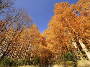 東京都 水元公園のメタセコイアの黄葉の写真素材 [FYI04776385]