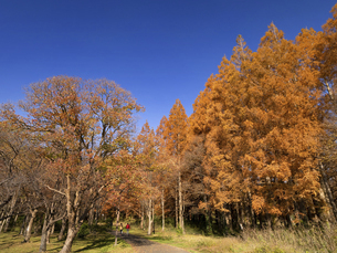東京都 水元公園のメタセコイアの黄葉の写真素材 [FYI04776387]