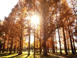 東京都 水元公園のメタセコイアの黄葉の写真素材 [FYI04776394]