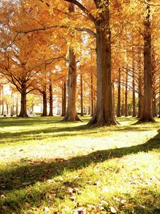 東京都 水元公園のメタセコイアの黄葉の写真素材 [FYI04776396]