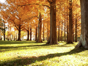 東京都 水元公園のメタセコイアの黄葉の写真素材 [FYI04776399]