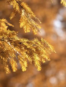 メタセコイアの黄葉の写真素材 [FYI04776401]