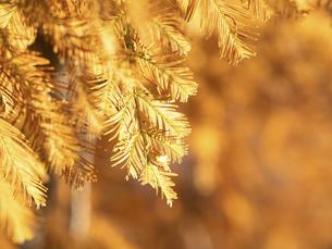 メタセコイアの黄葉の写真素材 [FYI04776404]