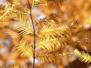 メタセコイアの黄葉の写真素材 [FYI04776406]