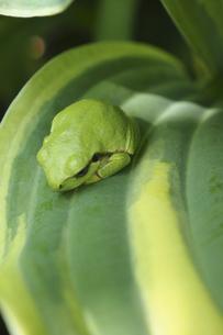 ギボウシの葉の上のアマガエルの写真素材 [FYI04776645]