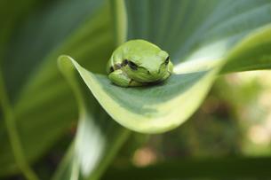 ギボウシの葉の上のアマガエルの写真素材 [FYI04776651]