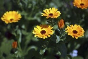 キンセンカの花の写真素材 [FYI04776964]