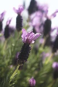 ハーブ・フレンチラベンダーの花の写真素材 [FYI04776965]