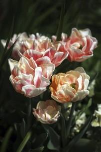 チューリップ・アンジェリケの花の写真素材 [FYI04776967]