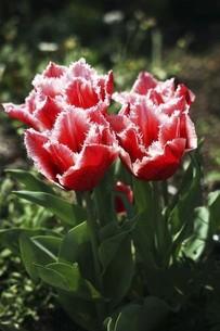 チューリップ・ファンシーフリルの花の写真素材 [FYI04776970]