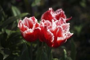 チューリップ・ファンシーフリルの花の写真素材 [FYI04776971]